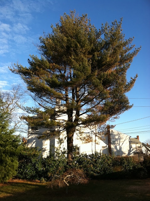 Majestic-Pine-Tree-in-Farmingdale-Winter-2013