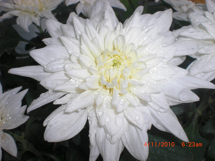white chrysant