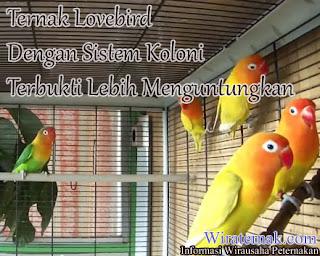 beternak love bird