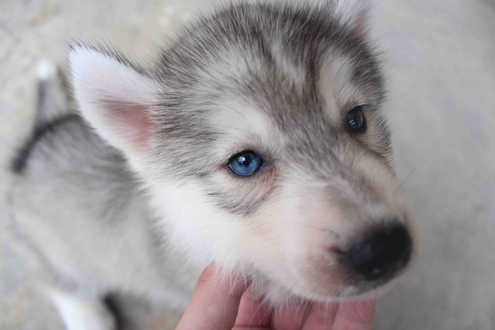 Gray Husky Puppies With Blue Eyes