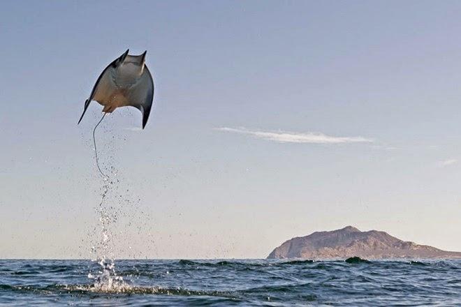 Những hình ảnh tuyệt đẹp của đàn cá đuối khổng lồ vọt lên trên mặt nước
