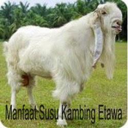 manfaat dari susu kambing etawa
