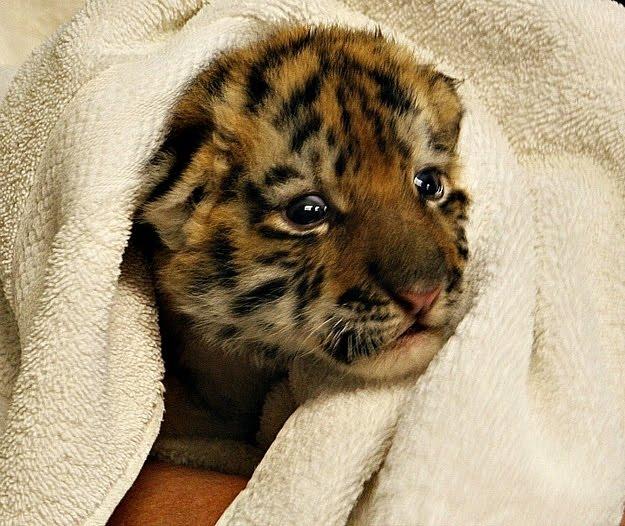 Baby amur tiger gets a bath, siberian tiger cub, amut tiger