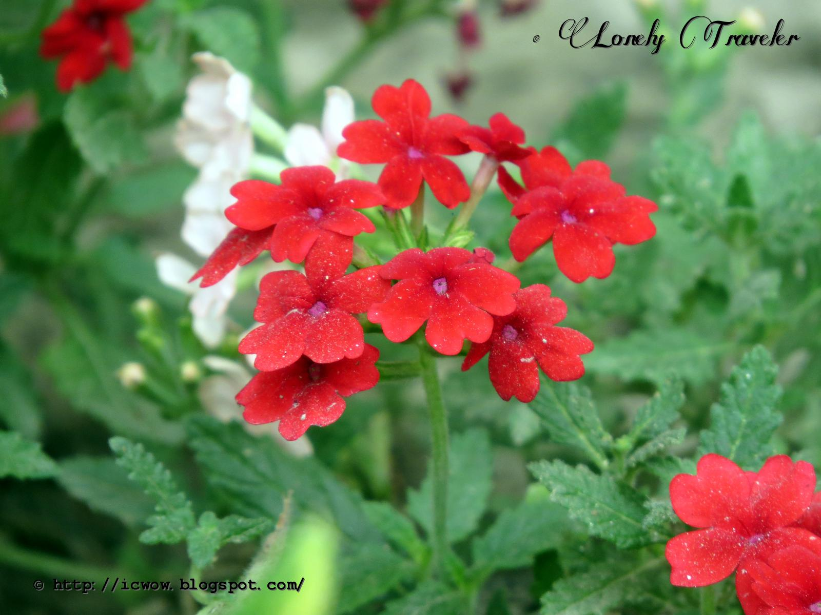 Lonely Traveler Verbena flower ভার্বেনা ফুল Verbena x hybrida