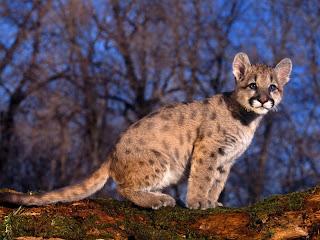 ملف كامل عن اجمل واروع الصور للحيوانات  المفترسة   حيوانات الغابة  25
