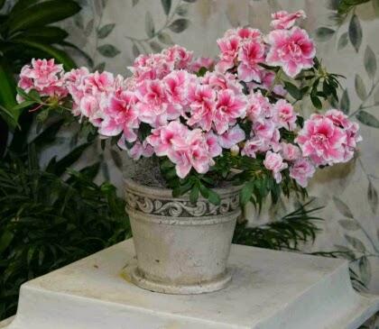 plantas e jardins plantas flores e jardinagem azalea