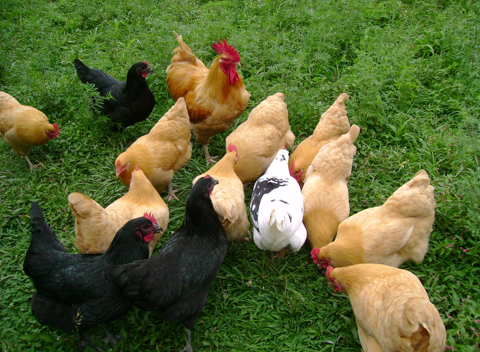 Chicken breeds for eggs - When To Expect Your Chicken To Lay Its First Egg