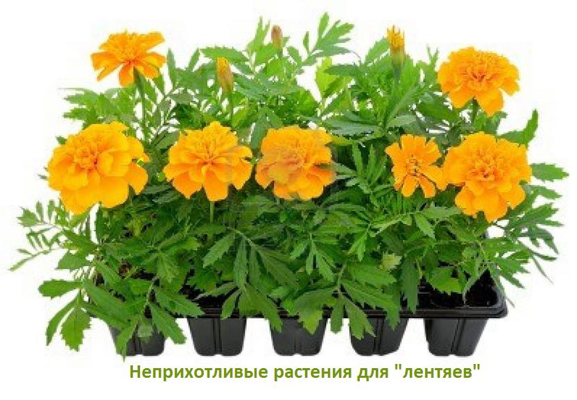 Неприхотливые цветы на даче фото