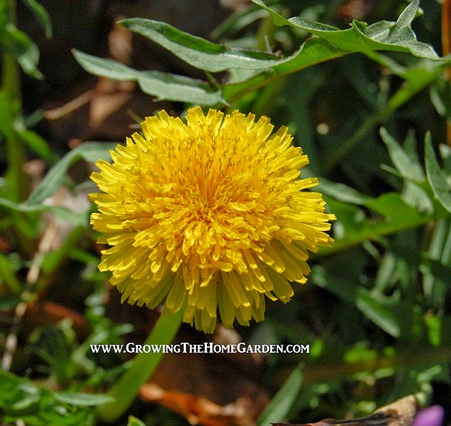 Dandelion-benefits-health