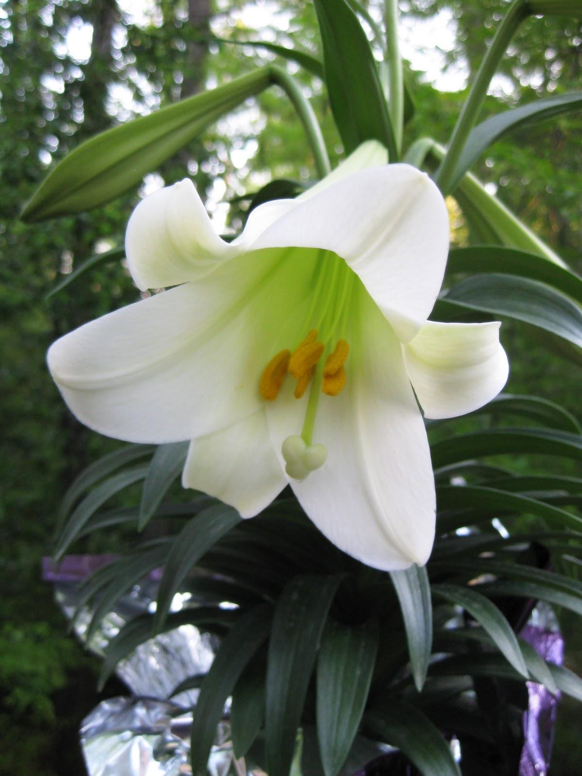http://4.bp.blogspot.com/-ufCZri0DqdI/T3hOwscoZLI/AAAAAAAACvg/j-n0Zty3vZE/s1600/Easter+Lily.jpg