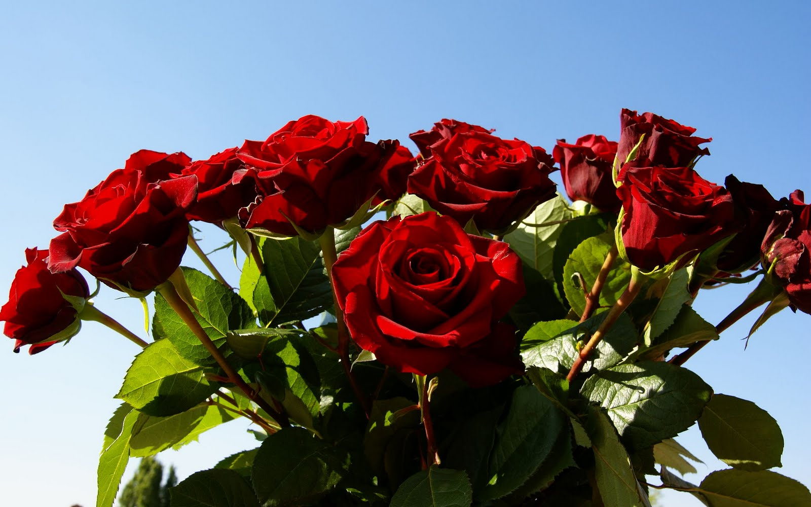 free flowers photo and wallpapers red rose flowers pictures, Natural flower