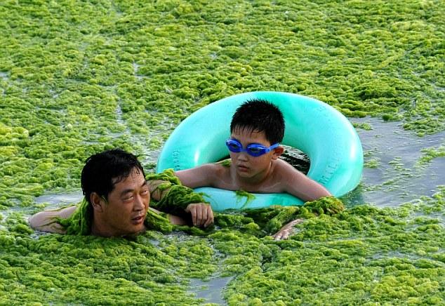 Pantai di China di selimuti alga hijau