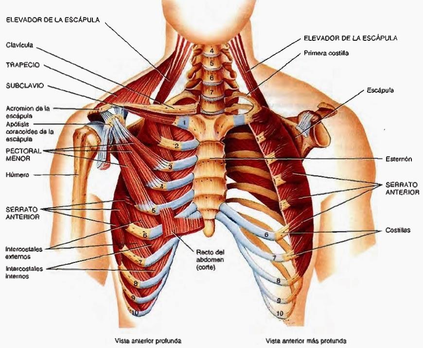Único Músculos Del Pecho Superior Anatomía Motivo - Anatomía de Las ...