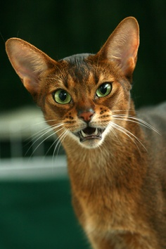 Suitable food for your Abyssinian