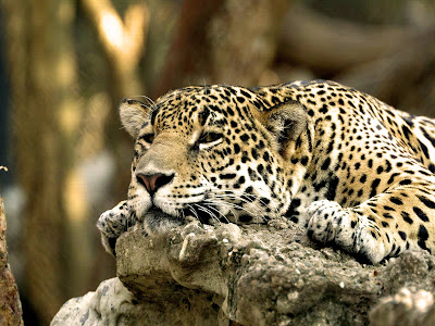 Leopard Wallpepers