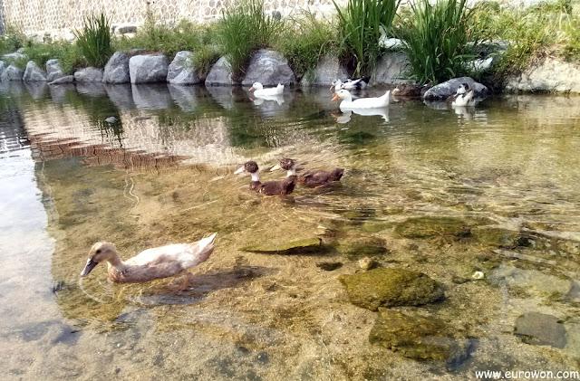 Patos en el arroyo Cheonggyecheon del centro de Seúl