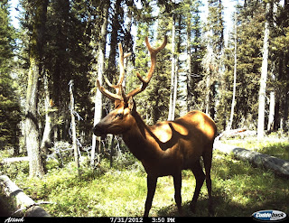 Rocky Mountain Elk in Idaho