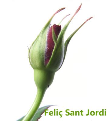 Capullo de rosa roja Rosas para Sant jordi