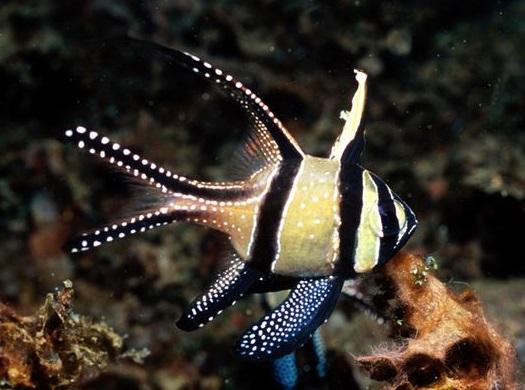 banggai cardinalfish - photo #17