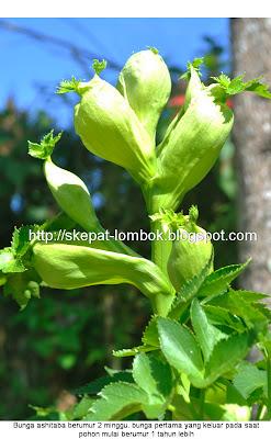 bunga ashitaba dan bibit ashitaba. rinjani ashitaba sembalun Lombok