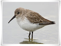 Dunlin Bird Animal Pictures