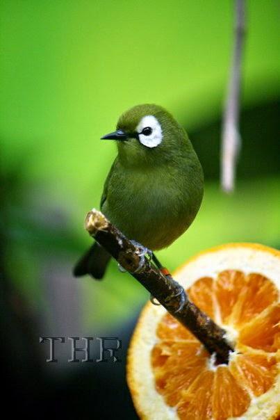 Foto Burung Laura Terbaik