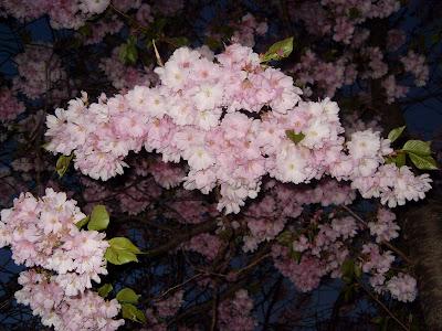 Kungsträdgården cherry blossom