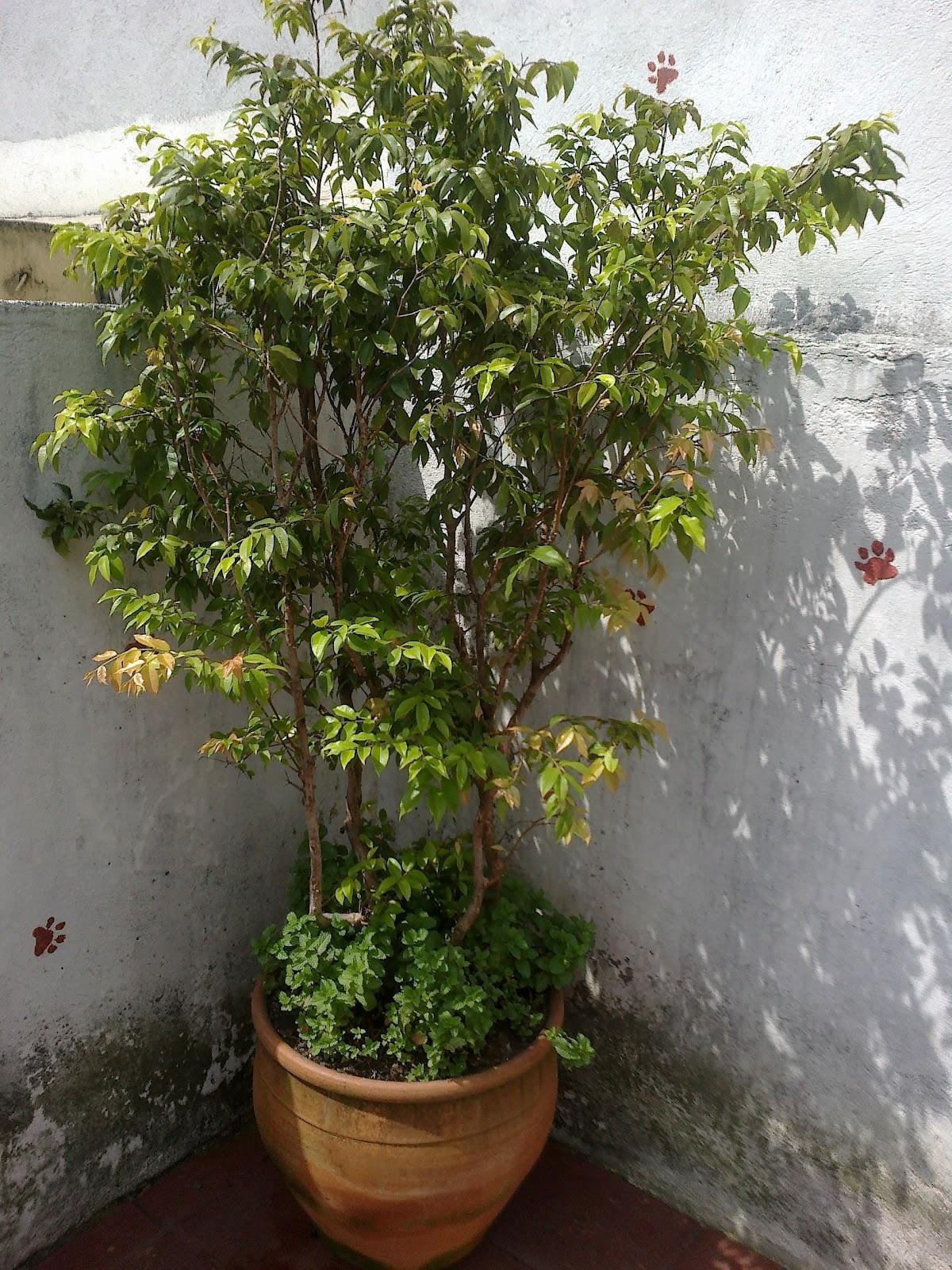 Conhecido Flores & Plantas: Frutíferas em vasos EH65