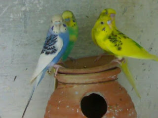 2 Pairs of Australian Parrots For Sale in Lahore
