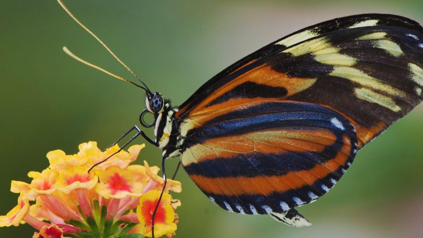 kupu kupu cantik