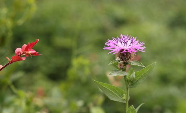 Centaurea Uniflora Flowers
