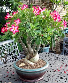 Contoh Bonsai Adenium