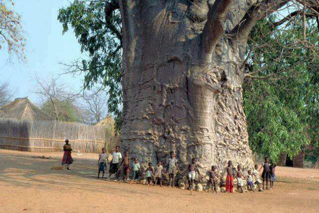 Huge Tree in a village