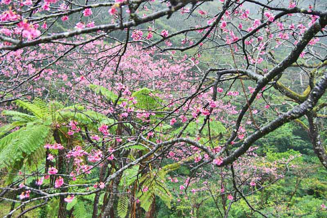 ferns, sakura, cherry trees, flowers