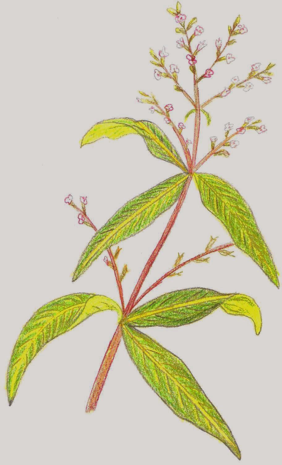 La tierra y su generosidad cedr n aloysia triphylla - Hierba luisa en maceta ...
