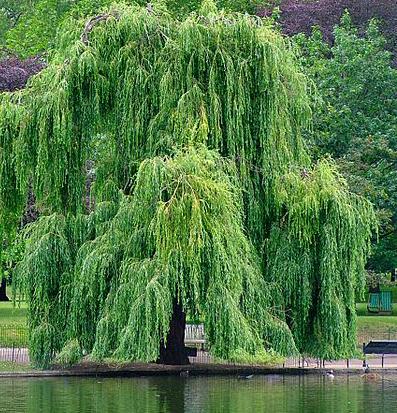 水楊酸最早是從柳樹皮發現,以前的人會用柳樹皮來做肌膚護理