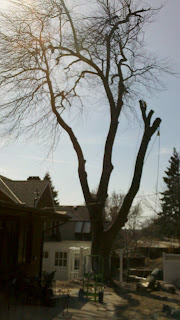 American Arborist tree care provider removed this large silver maple tree in Dundee, Omaha without damaging the 2 houses, fence or phone lines under it.