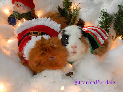 Guinea Pigs Christmas outfits