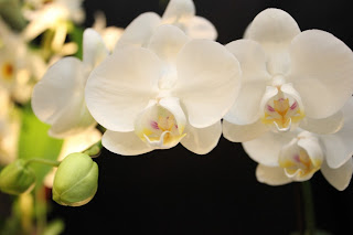 The orchid flower