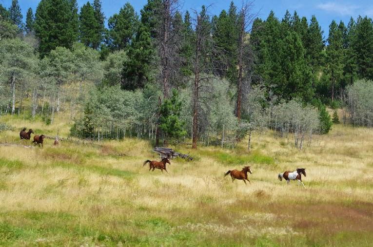 Galloping horses. Ranch life- From BTBU