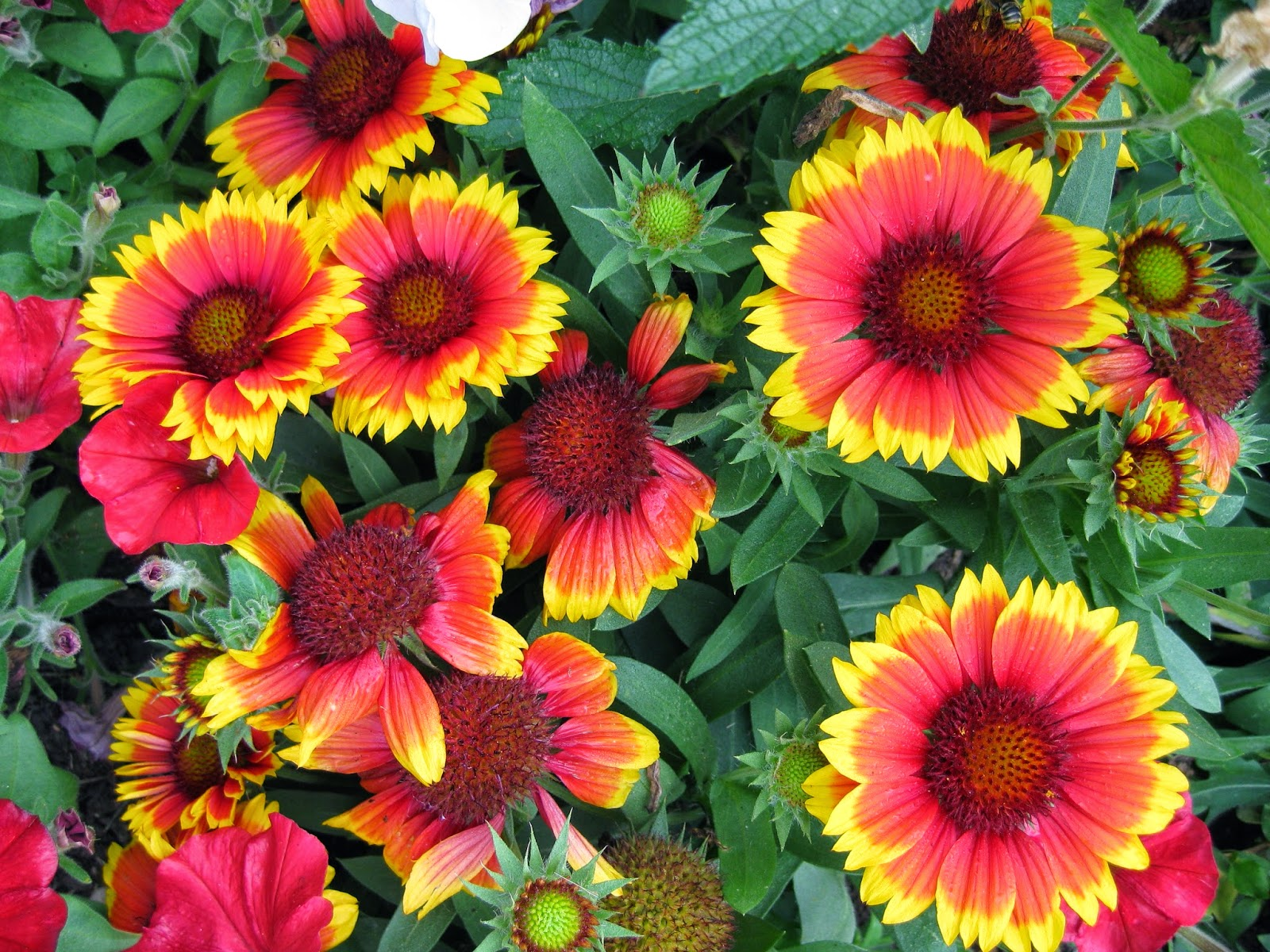 Blanket Flowers Add Punch Marks Garden Ruminations