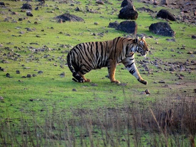 Tiger at Tadoba Tiger Reserve