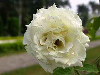 White Rose at Pinzore Garden