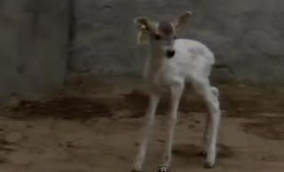 White deer picture - rusa putih di China