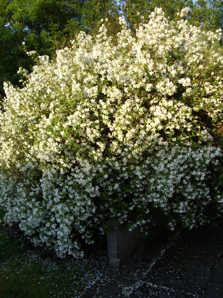 Magnificent Sweet Smelling Bush Small White Flowers Model Wedding