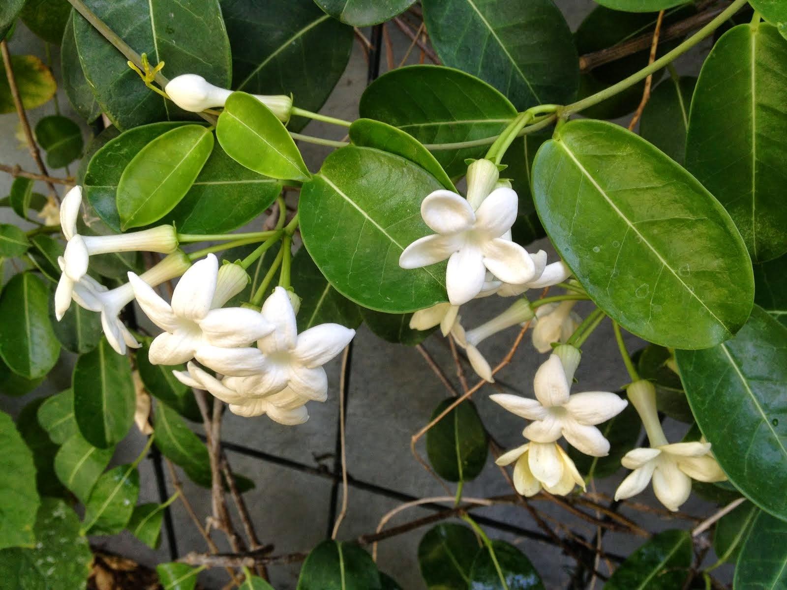 aprille's socal gardening ✿❀✾ shade loving vine, Natural flower