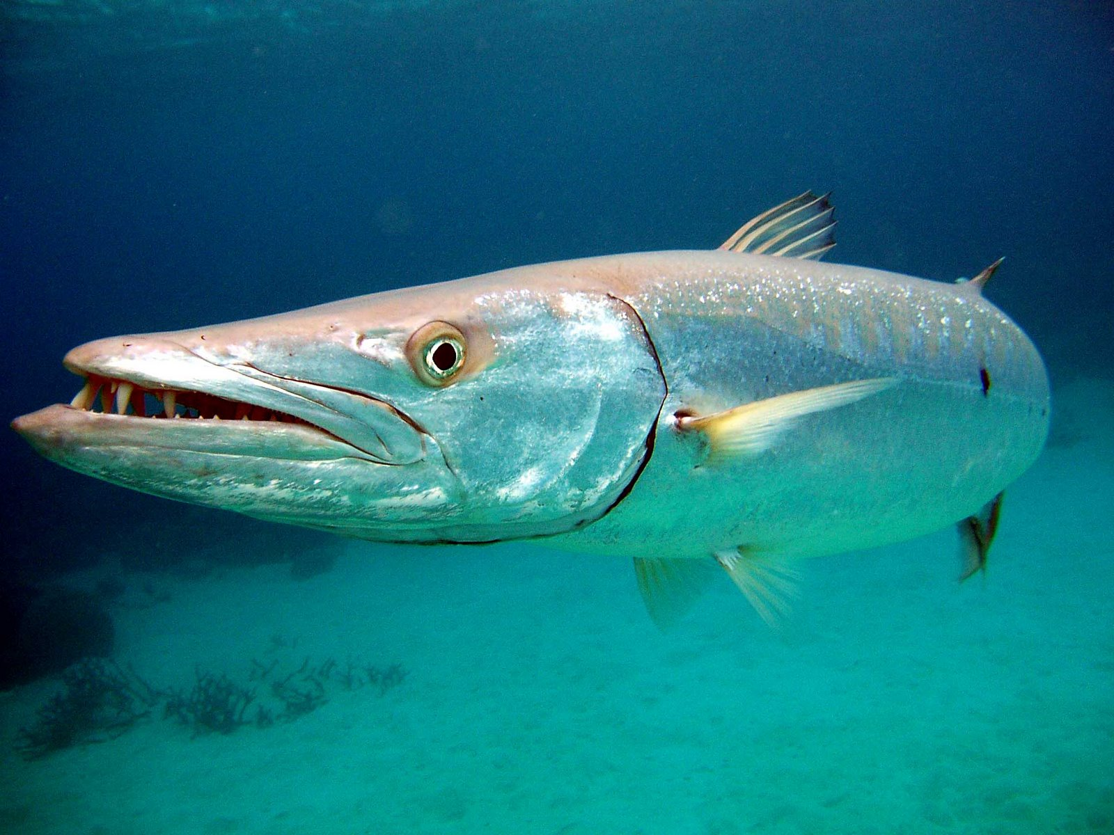 barracuda animal wildlife