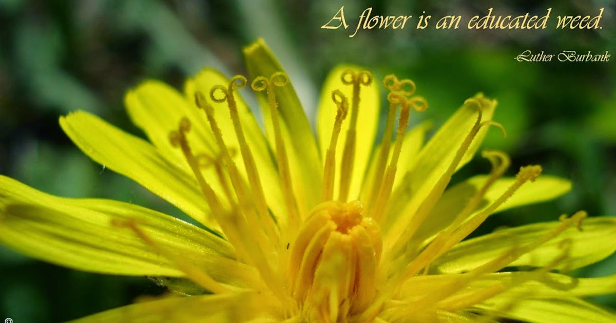 The essence of herbs dandelion flowers are merely weeds