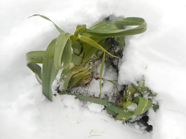 uncovering Winter Leeks in January in North Idaho
