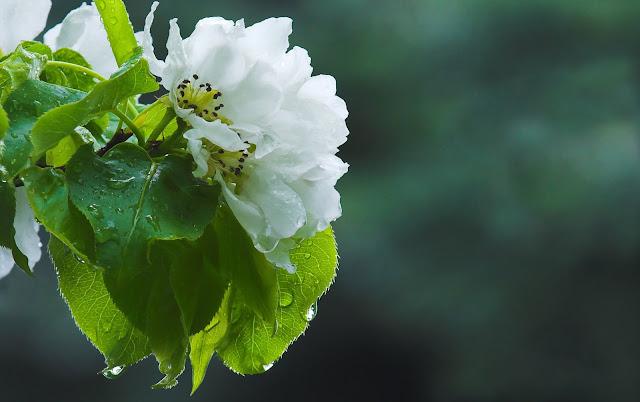 Witte bloem in bloei in de lente